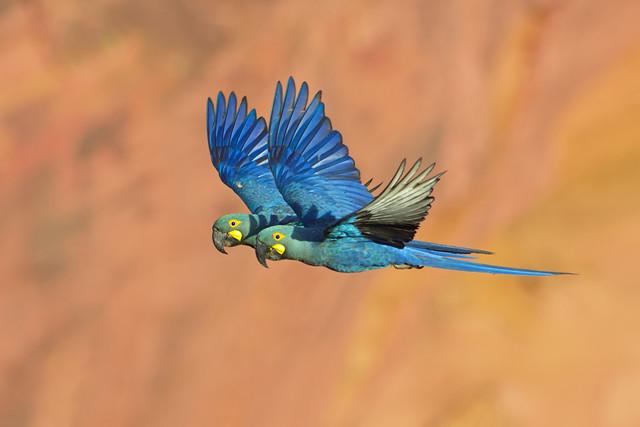 Arara-azul-de-laer (Anodorhynchus leari) casal