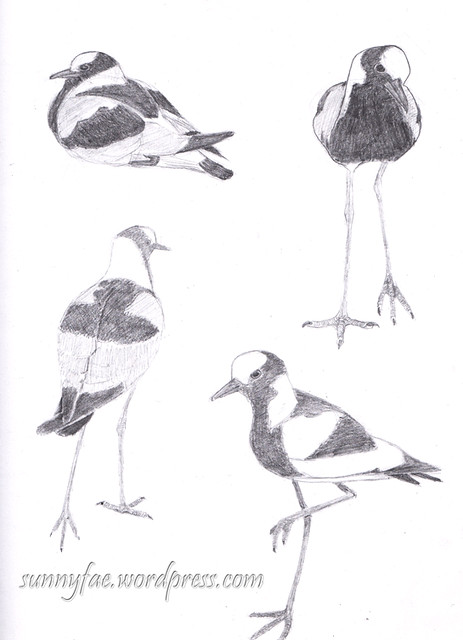 plover pencil drawings