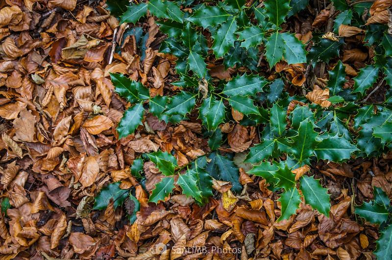 Hojas verdes de acebo sobre hojas secas de haya