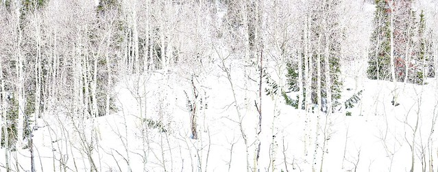 May Aspens Against Snow