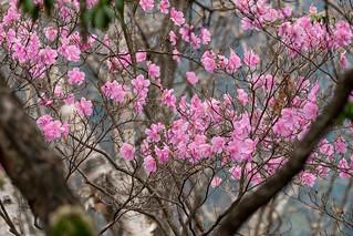 咲き残ったアカヤシオ