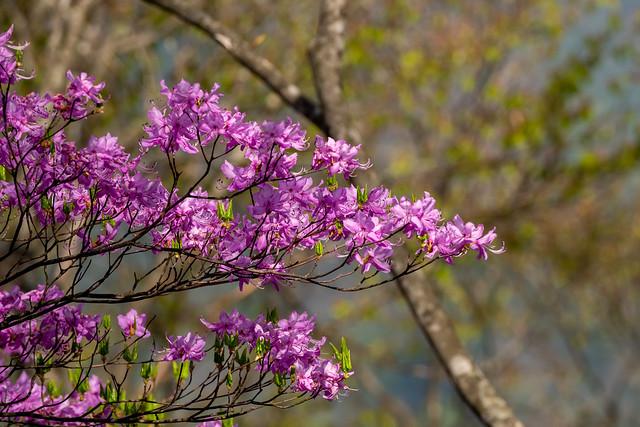 ヨコスズ尾根に咲くミツバツツジ