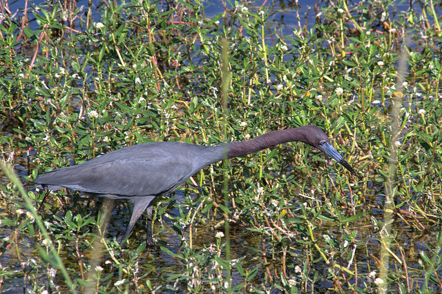 Little blue heron in breeding colors