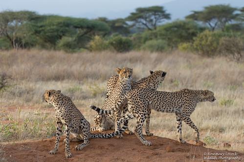 Cheetah mum and cubs - Acinonyx jubatus