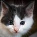 Tuxedo Foster Kittens