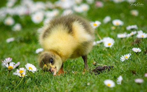 🇬🇧 Cute greylag gosling in the daisies (Explored 08/05/19) #9