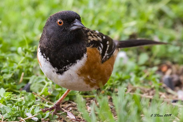 IMG_9287 spotted towhee