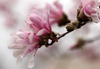 Magnolia 9857