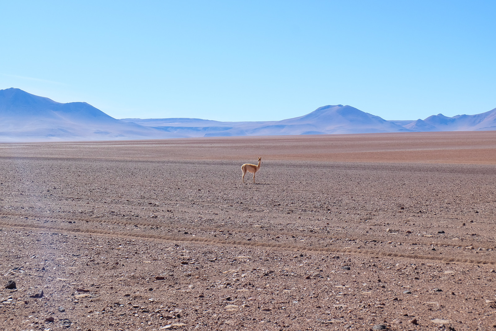 Vicunas, Bolivia