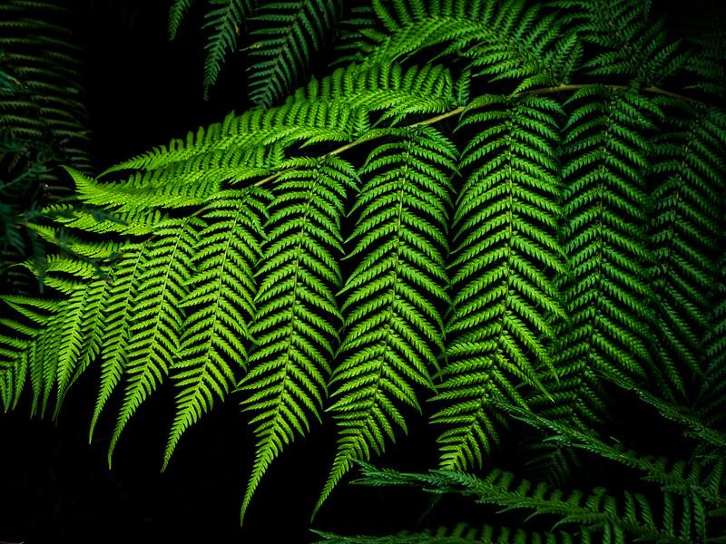 Tasmania fern