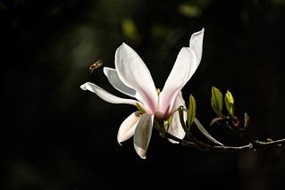 The Magnolia and the Bee