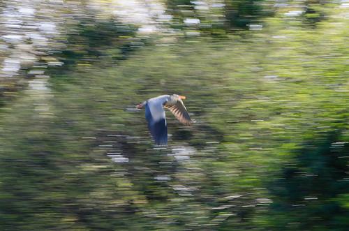 Heron taking off, Compton Park Pool