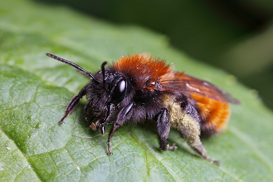 Tawny mining bee — Digital Grin Photography Forum