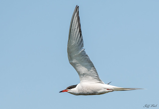 DSC6981  Common Tern...