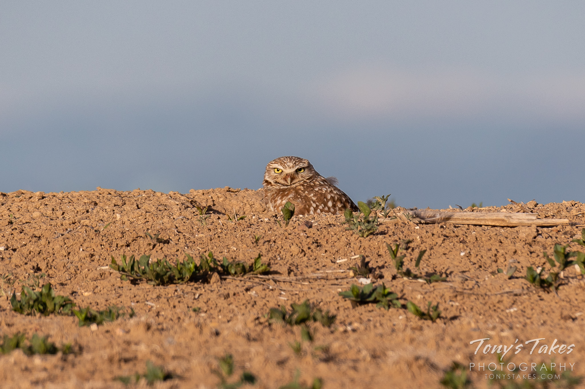 A burrowing owl hunkers down in its burrow and keeps close watch. (© Tony's Takes)