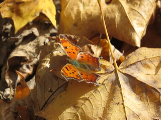 comma on dead leaves