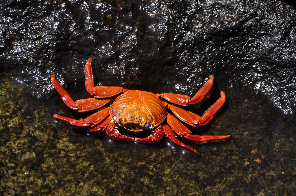 photographie d'un crabe Percnon gibbesi https://www.flickr.com/photos/28788207@N04/46888463385/