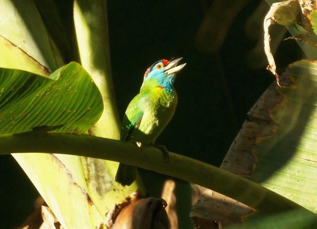 Blue-throated Barbet, Megalaima asiatica, Голубощёкий бородастик