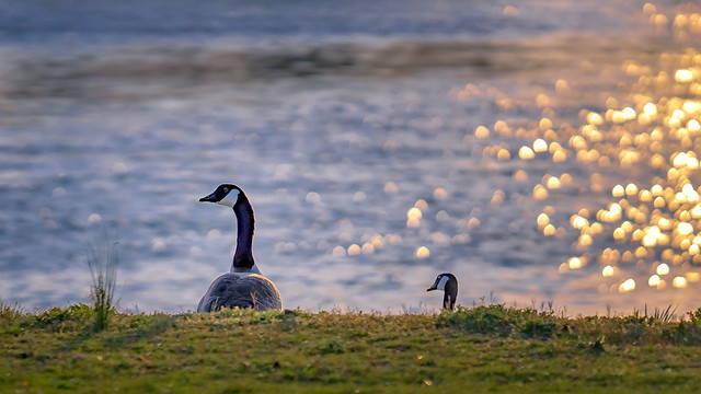 Meditating geese at sunset 😎 | SONY ⍺7III & Sigma FE 1.8/135 Art