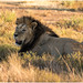 Lion sub adult