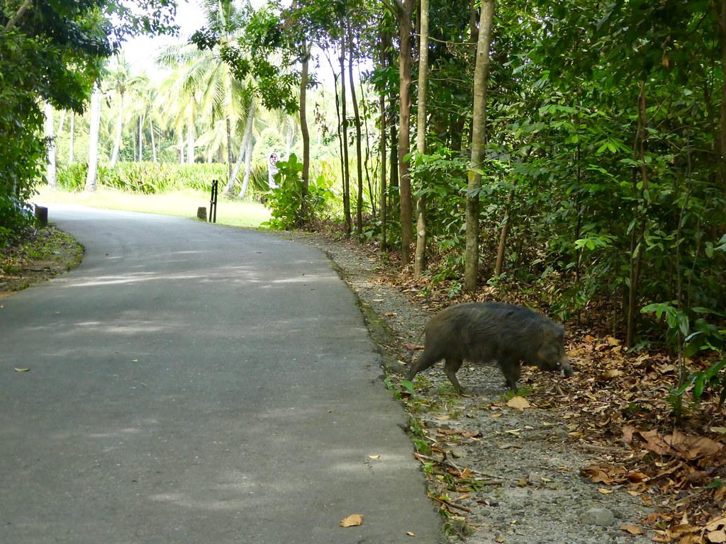 One of the wild boar that crossed our path on Pulau Ubin