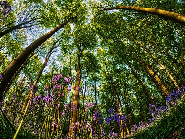 Bluebells in Micheldever Wood, Hampshire - Fisheye