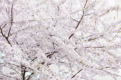 cherry blossoms | by Beau Finley