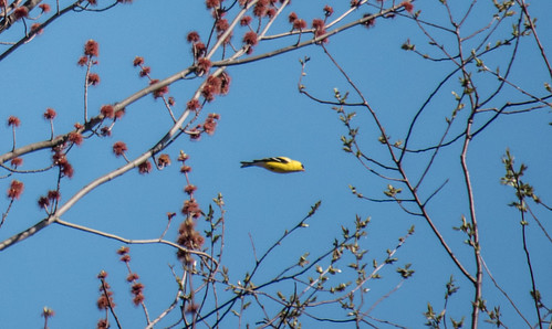 Goldfinch in Flight | by Stephen Downes