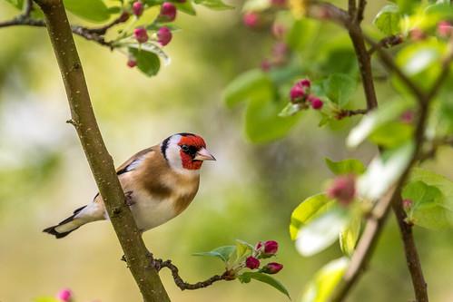 Goldfinch in the garden   by www.andrewswalks.co.uk