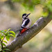 Great spotted woodpecker in the garden
