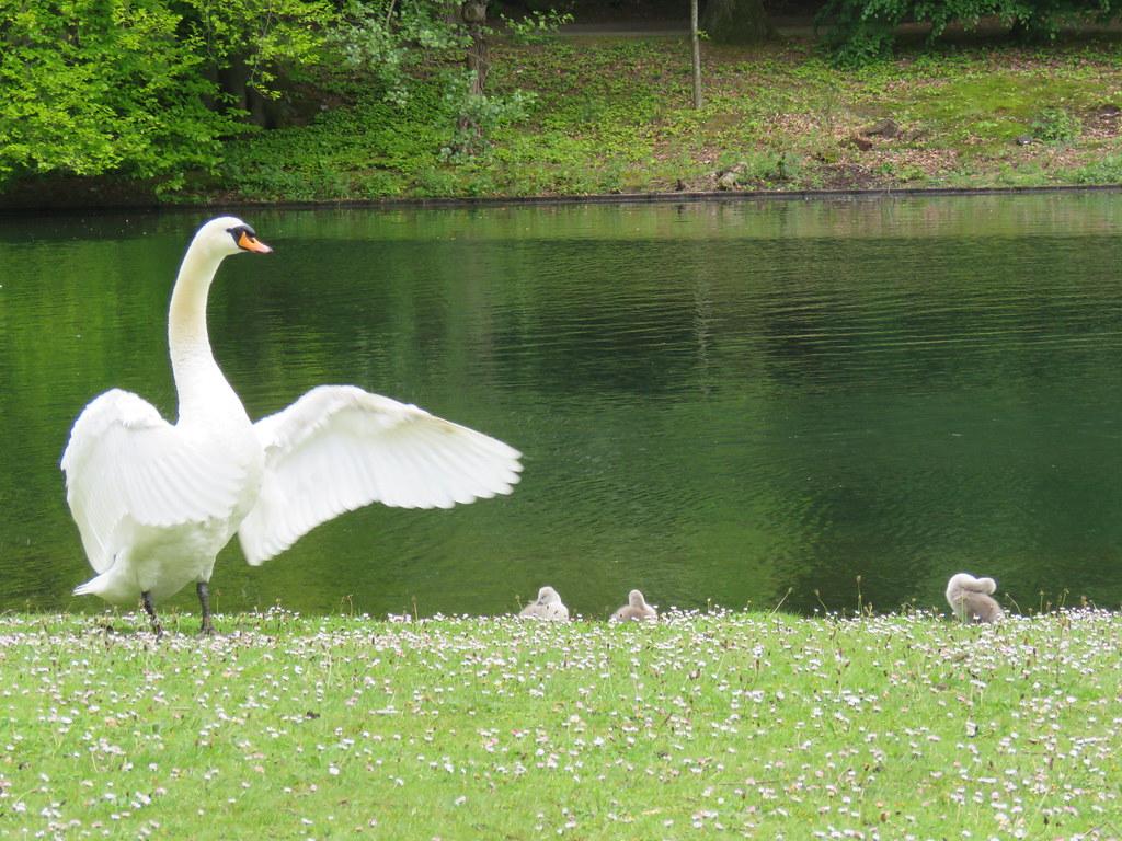 Swan family / Schwanenfamilie