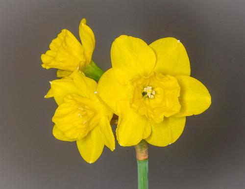 Woodland Daffodils | by tresed47
