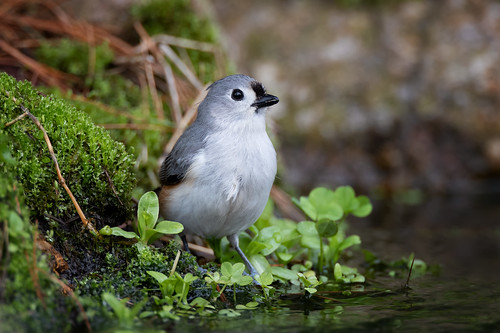 Tuffed titmouse at the edge of the stream | by Rob & Amy Lavoie