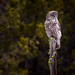 Great Gray Owl by OwlPurist