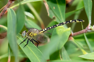 Zebra Vicetail (Hemigomphus comitatus) 1 | by Geoffrey Walker