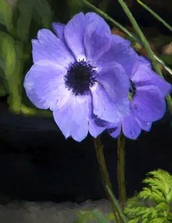 Anemone Impressions