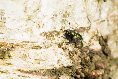 Metallic Green Fly | by nickstone333