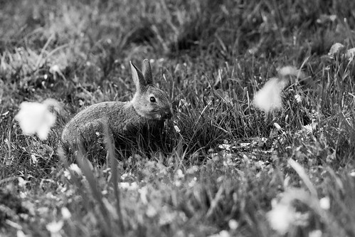 Black and White Bunny | by nickstone333