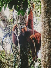 Travel tips  The best place on earth to meet Orangutan in the wild.  Fantastic 2 day  one night jungle trekking tour in sumatra.  Join now for the great jungle experience  Email. adi.look25@gmail.com Whatsapp: +6282161735162  #spain #spain #spaingirl #spa