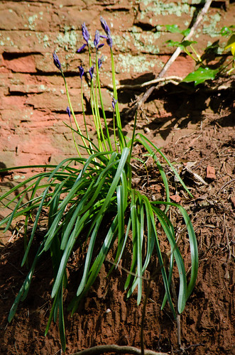 Bluebell on sandstone cliff face, Worfield