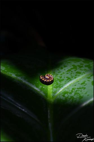 harpaphe haydeniana millipede sri lanka lankan srilanka srilankan dinuka kavinda d7200 insects leaf green black shadow yellow coth5 nature