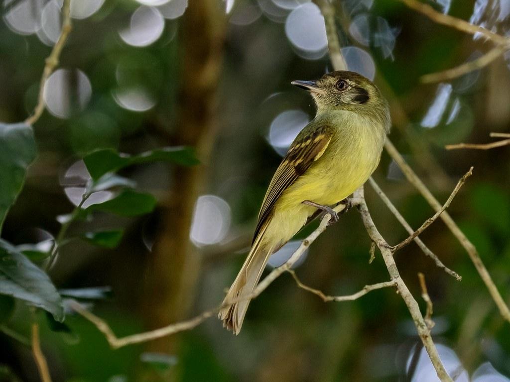 Sepia-capped flycatcher/Cabeçudo/Mosqueta corona parda (Leptopogon amaurocephalus)