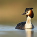 Great Crested Grebe by John M Dickenson