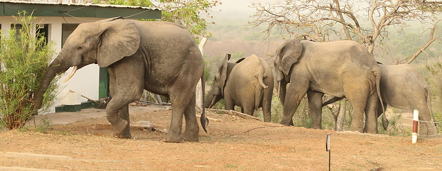 Savanna elephants at the Mole Motel, Mole National Park, Ghana
