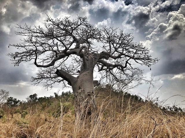 Baobab en Pendjari (Benín) durante un día de tormenta