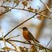 robin in crabapple tree by long.fanger