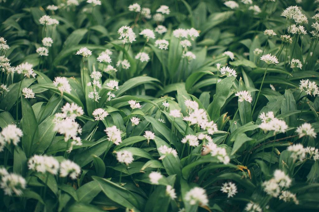 wild garlic-2