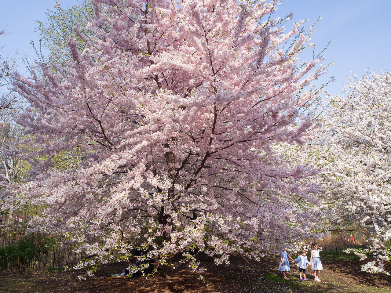 New Yorkin kirsikkapuut