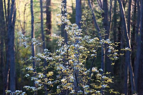 pear tree flowers white yellow golden morning sunrise woods green