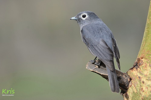 White-eyed slaty flycatcher (Kenya) | by |kris|
